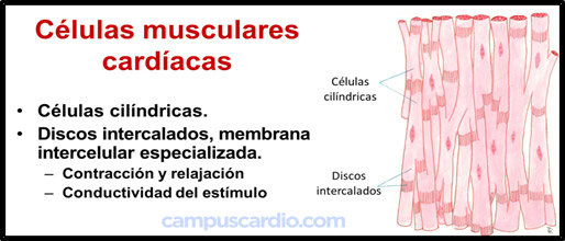 Células musculares cardíacas