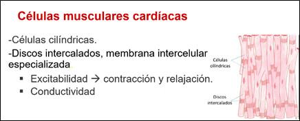 Características de células musculares cardíacas