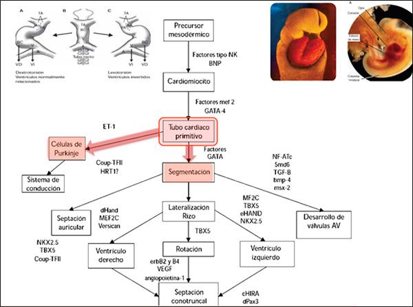 Desarrollo Embrionario del corazón
