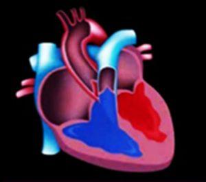 División del corazón en aurículas y ventrículos
