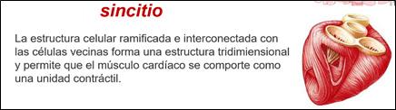 Sincitio células cardíacas